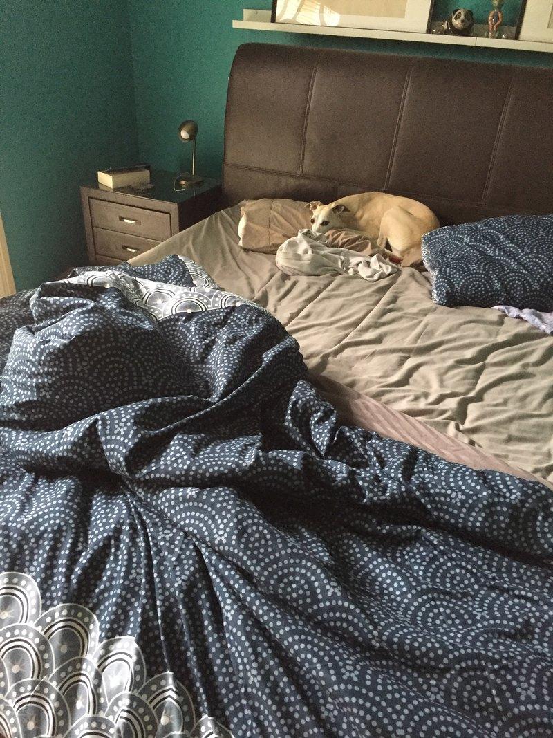 Whippets sleeping